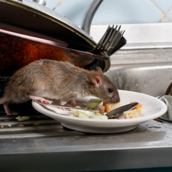 rat in dishes
